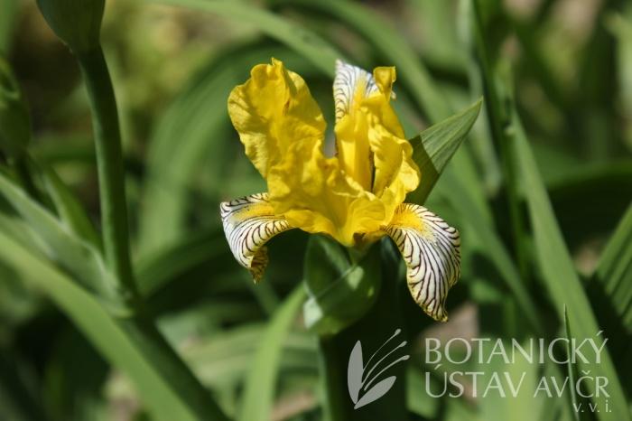 Iris variegata - kosatec různobarvý
