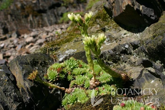 Jovibarba globifera - netřesk výběžkatý