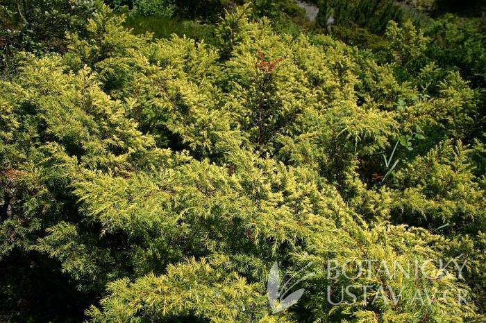 Juniperus communis 'Depressa Aurea' - jalovec obecný