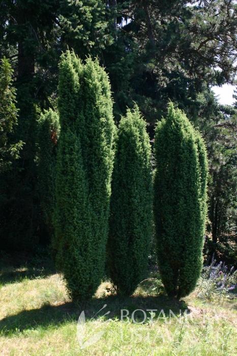 Juniperus communis 'Hibernica' - jalovec obecný