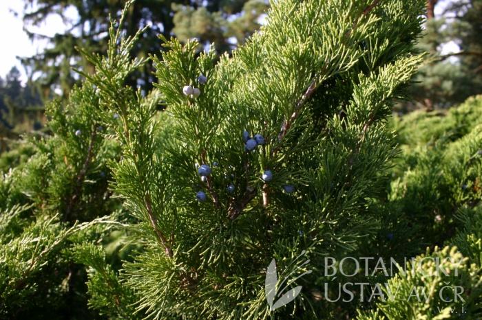 Juniperus sabina - jalovec chvojka