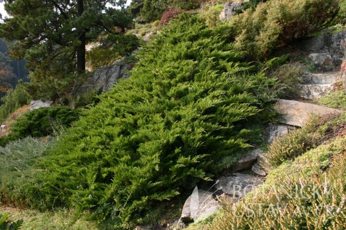 Juniperus sabina 'Tamariscifolia' - jalovec chvojka