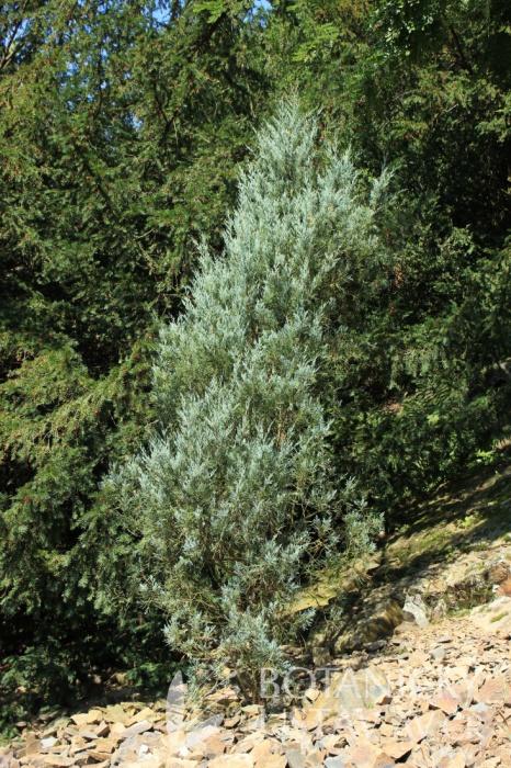 Juniperus scopulorum 'Skyrocket' - jalovec skalní