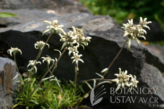 Leotopodium alpinum - protěž alpská