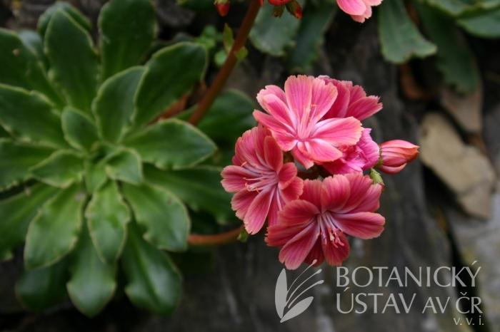 Lewisia cotyledon - levisie květnatá