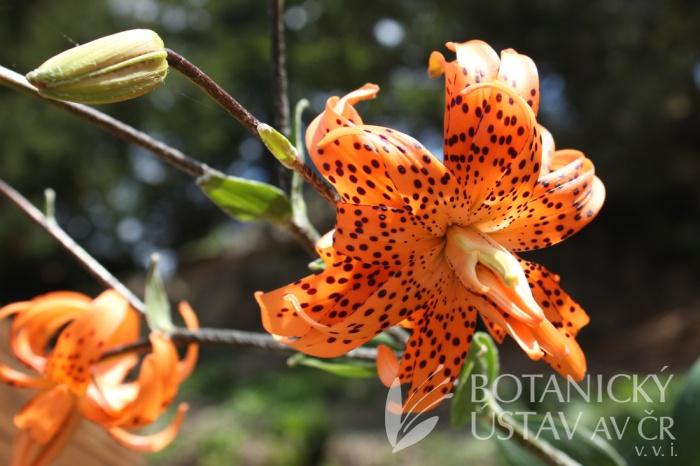 Lilium lancifolium 'Flore Pleno' - lilie kopinatá
