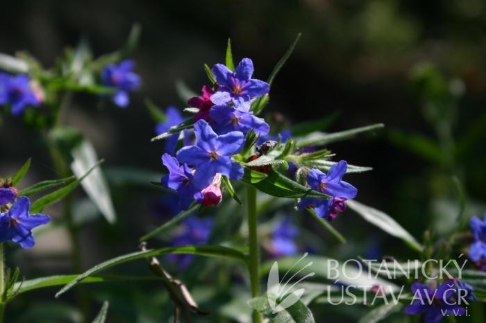 Lithospermum purpurocaeruleum - kamejka modronachová