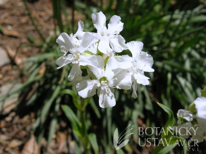 Lychnis viscaria 'Alba' - smolnička obecná