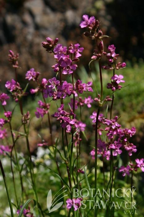 Lychnis viscaria - smolnička obecná
