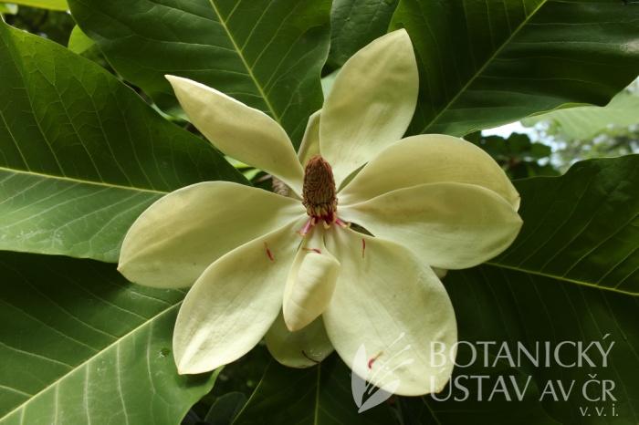 Magnolia x pruhoniciana - šácholan průhonický