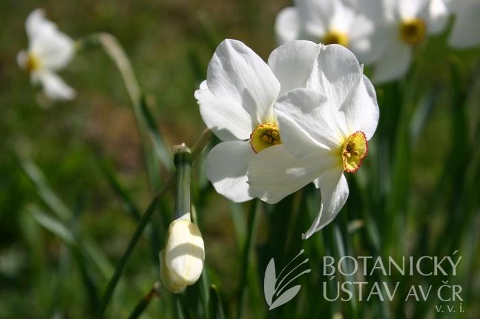 Narcissus poeticus - narcis bílý