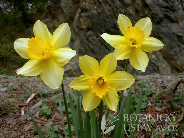 Narcissus pseudonarcissus - narcis žlutý