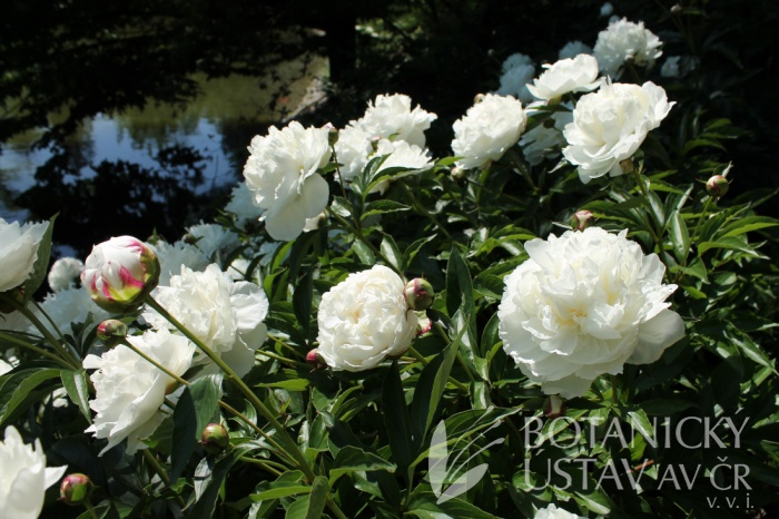 Paeonia lactiflora - pivoňka čínská