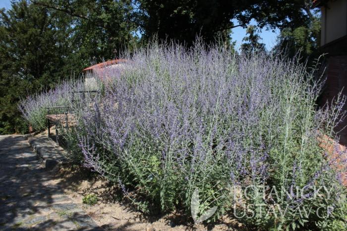 Perovskia atriplicifolia 'Lacey Blue' - perovskie lebedolistá