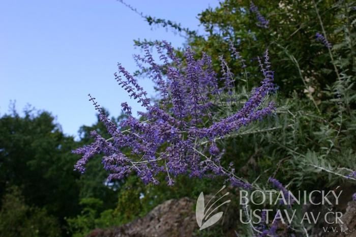 Perovskia atriplicifolia - perovskie lebedolistá