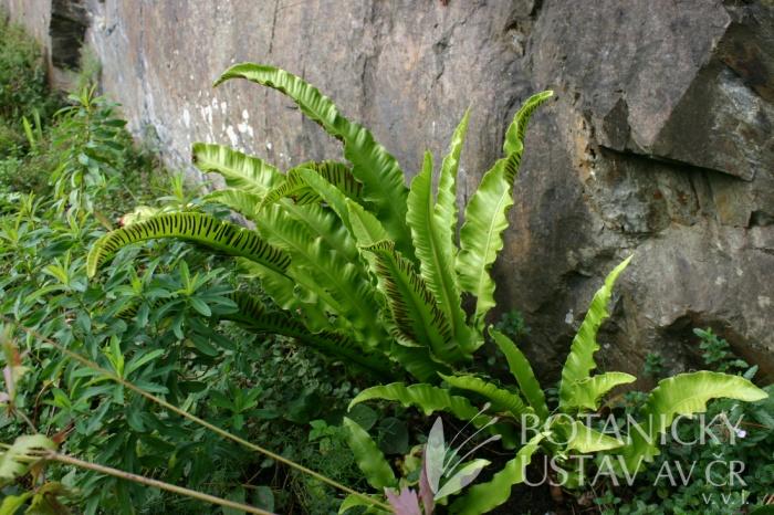 Phyllitis scolopendrium - jelenní jazyk celolistý
