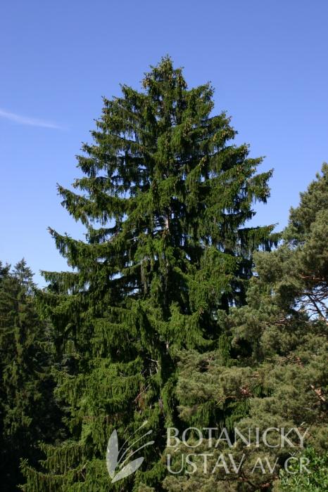 Picea abies - smrk ztepilý
