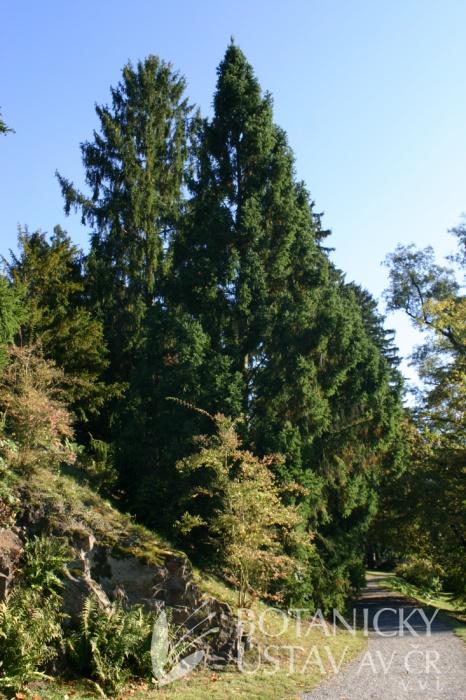 Picea abies 'Cupressina' - smrk ztepilý