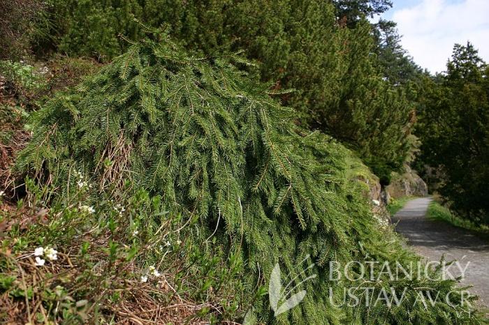 Picea abies 'Formánek' - smrk Formánkův