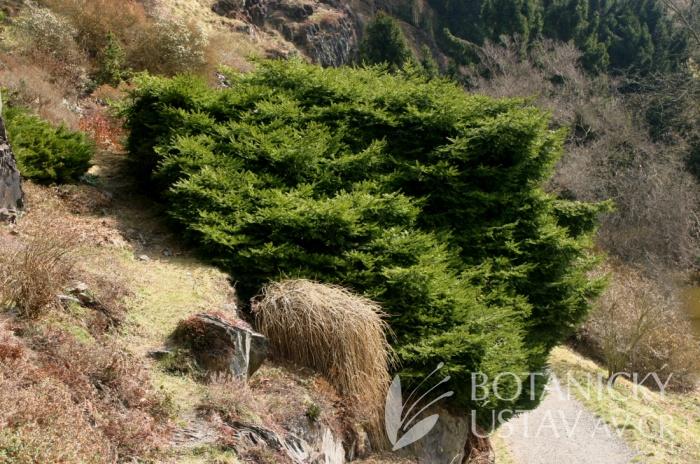 Picea abies 'Nidiformis' - smrk ztepilý