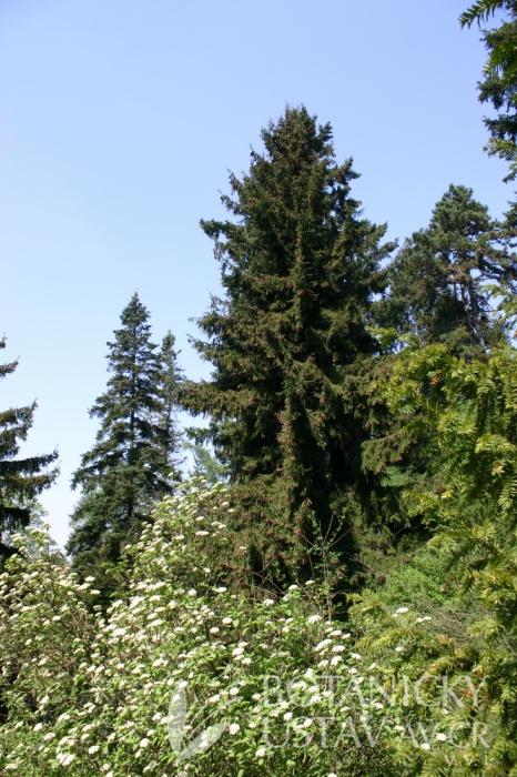 Picea orientalis - smrk východní