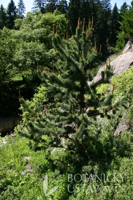 Pinus aristata - borovice osinatá
