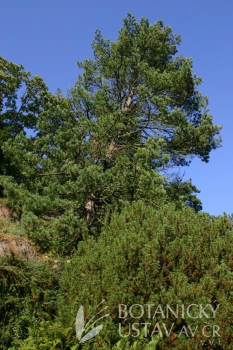Pinus cembra - borovice limba