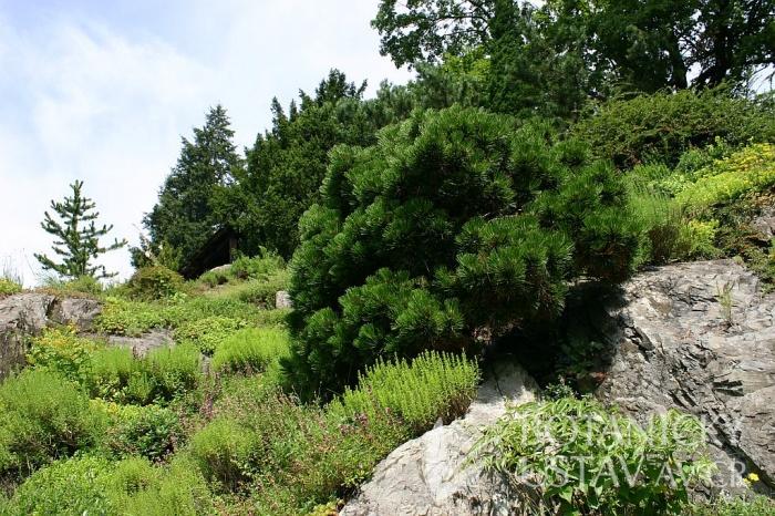 Pinus heldreichii 'Smidt' - borovice Šmidtova