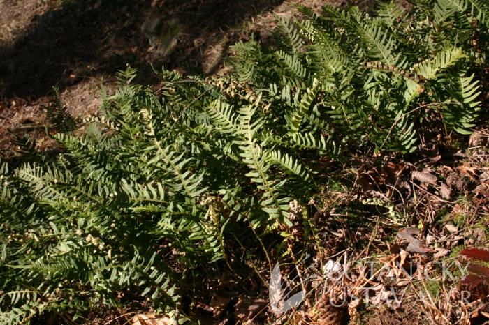 Polypodium vulgare - osladič obecný