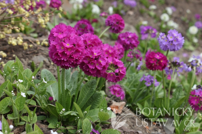 Primula denticulata 'Corolla Deep Rose' - prvosenka zoubkovaná