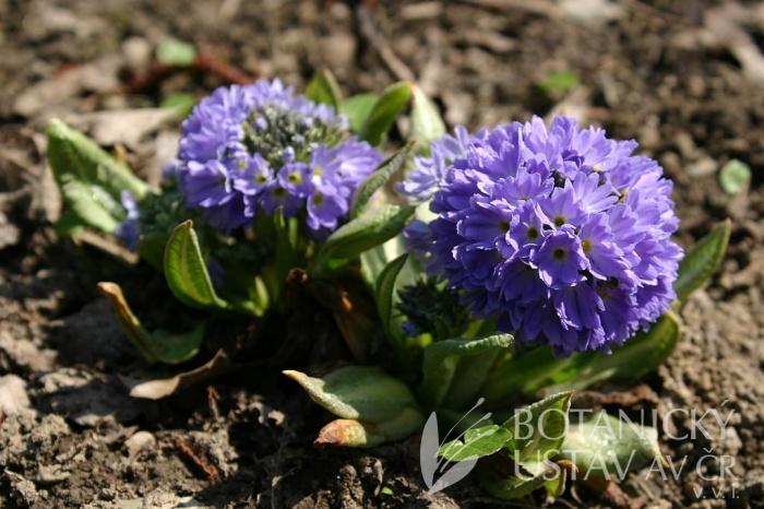 Primula denticulata 'Lilac' - prvosenka zoubkovaná