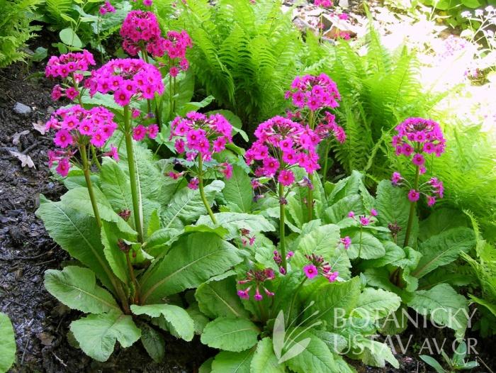 Primula japonica - prvosenka japonská