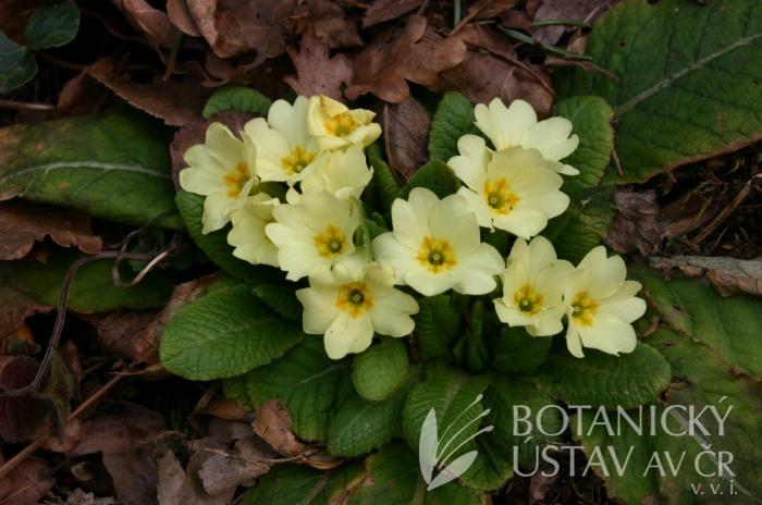 Primula vulgaris - prvosenka obecná