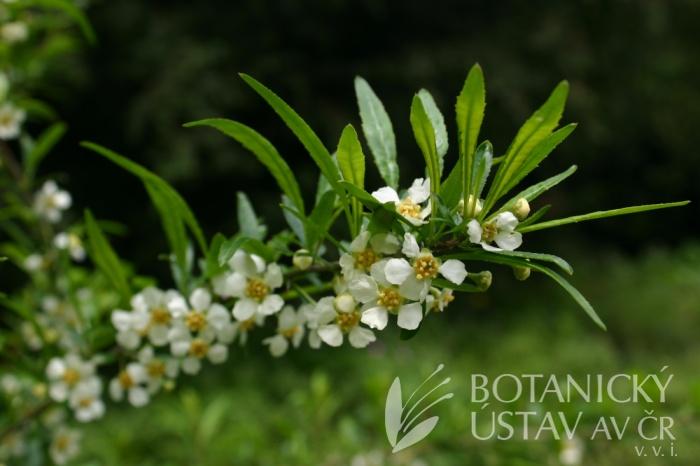Prinsepia uniflora - prinsepie jednokvětá