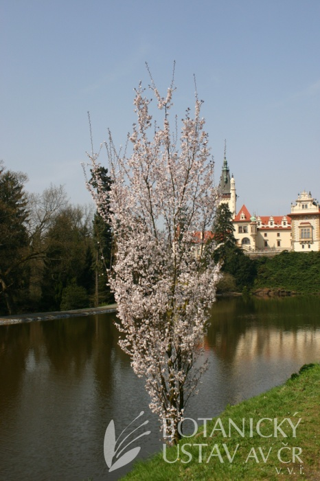 Prunus hillieri 'Spire' - slivoň Hillierova