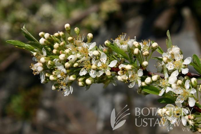 Prunus pumila var. depressa - slivoň písečná