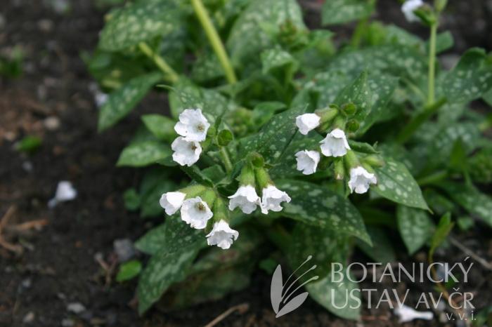 Pulmonaria officinalis 'Sissinghurst White' - plicník lékařský
