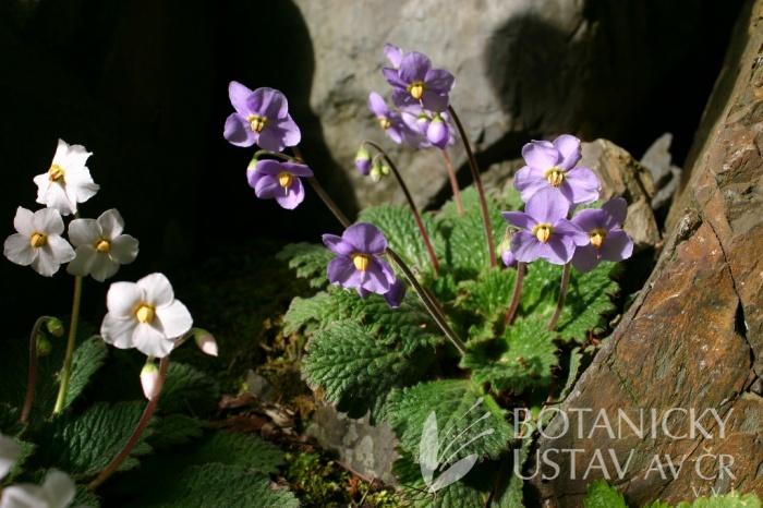 Ramonda myconi - ramondie pyrenejská