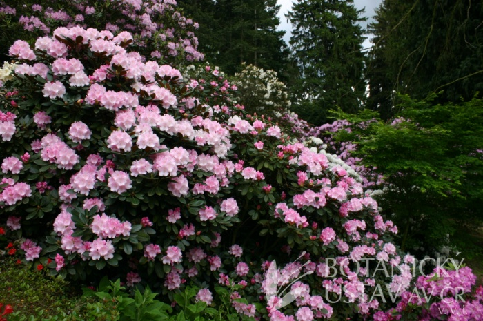 Rhododendron catawbiense - pěnišník americký