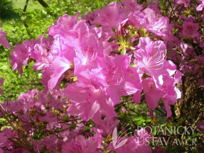 Rhododendron hybr. 'Ledikanense' - pěnišník