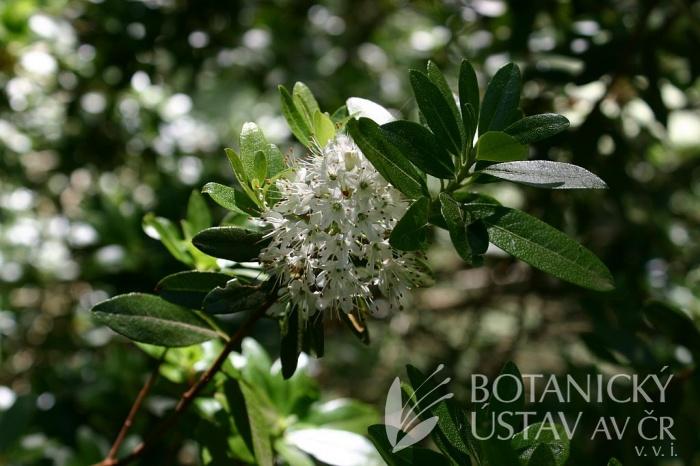 Rhododendron micranthum - pěnišník drobnokvětý