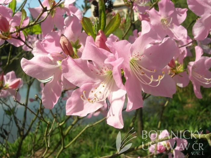 Rhododendron schlippenbachii - penišník Schlippenbachův