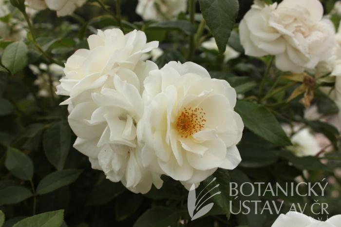 Rosa 'Innocencia' - růže
