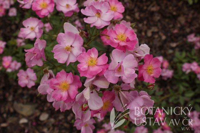 Rosa 'Lavender Dream' - růže