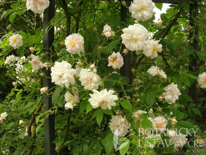 Rosa 'Pauls Himalayan Musk' - růže