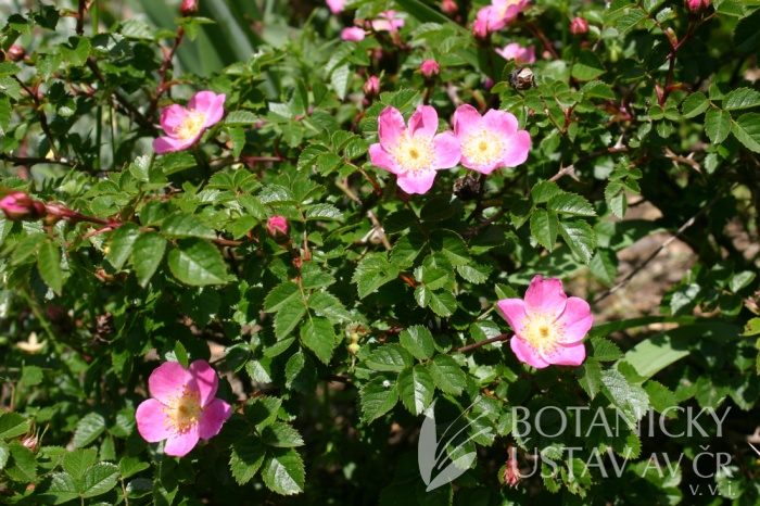 Rosa serafinii - růže serafínská