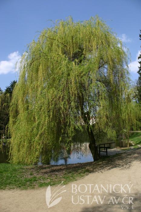 Salix alba 'Tristis' - vrba bílá