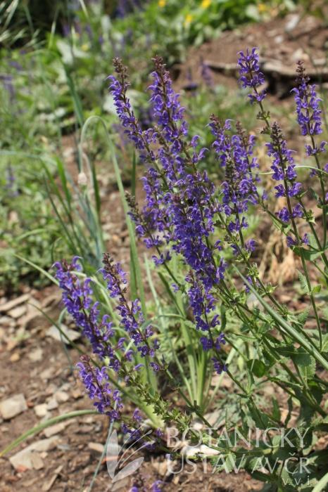 Salvia nemorosa 'Mainacht' - šalvěj hajní