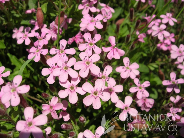 Saponaria ocymoides - mydlice bazalkovitá