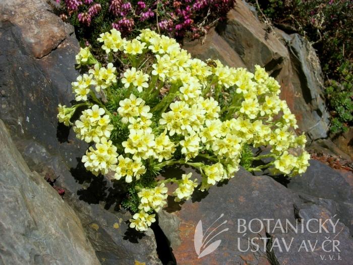 Saxifraga apiculata 'Gregor Mendel' - lomikámen hrotnatý